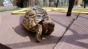 Pantherschildkröte abzugeben
