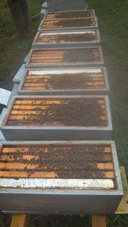 Komplete Zander Bienen