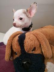Nur noch zwei Chihuahua Rüden