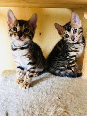 Reinrassige Bengal Kitten ,