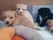 Mischlingswelpen Pudel/Terrier