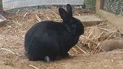 Josi Kaninchen männl.