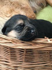 Schäferhund Welpen Rüde