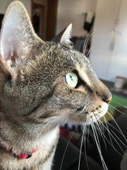 Savannah Katze F5SBT