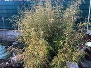 Bambus zum Selbstausgraben und Selbstabholung
