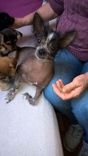 Mischlings Welpen Nackthund-Mix Terrier-Mix