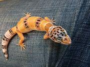 Leopardgecko Weibchen ENZ