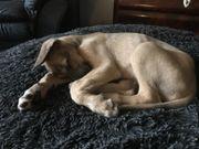 Irish wolfhound Welpen from House
