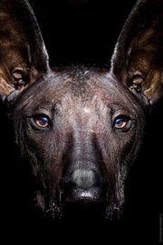 Xoloitzquintle Welpen - Mexikanischer Nackthund