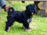 Tibet Terrier VDH in Rand-Berlin -