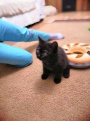 BKH Babykatze