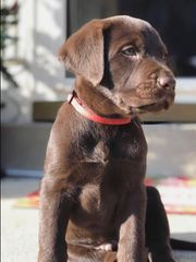 Labrador Welpe in Braun mit