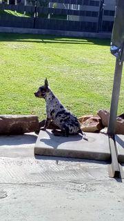 Französische Bulldogge - Chihuahua