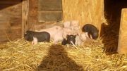 mehrere minischweine suchen ein zuhause