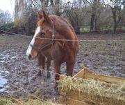 Orlow-Traber Wallach und Esel geklaut
