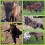Haribo - knuffiges Shetty-