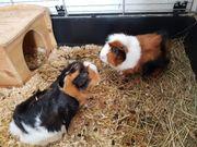 zwei weibliche meerschweinchen