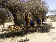 Olivenplantage mit Haus