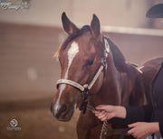 Quarter Horse Stute 2017 Pleasure