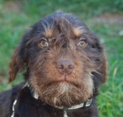Mac, Border Terrier