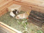 2 US Teddy Meerschweinchen