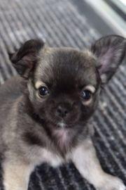 Süße Langhaar Chihuahua