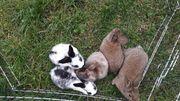 junge Kanninchen abzugeben
