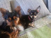 Wurfankündigung Chihuahua Baby Alarm