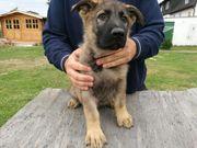 Deutscher Schäferhund Rüdenwelpe