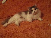 Britisch Langhaar Katze