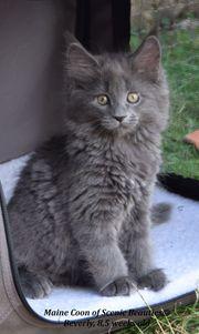 Traumhaftschöne reinrassige Maine Coon Katze