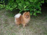 Pomeranian (Zwergspitz) Deckrüde