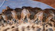 Bildschöne Bengal kitten