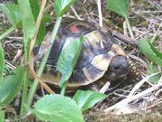 Griechische Landschildkröten aus