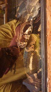 Boa constrictor constrictor