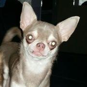 Chihuahua Deckrüde LILAC HUSKY