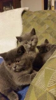 Britisch Kurzhaar Kitten o P