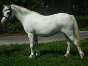 Süße weiße Ponystute