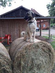 herdenschutzhund