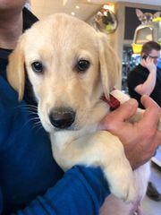 Labrador Welpe 9 Wochen alt