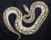 Königspython Python regius