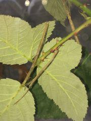 Rotflüglige Stabschrecke (Phaenopharos