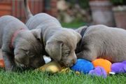 Wunderschönee Silber Labrador-Retriever Welpen abzugeben