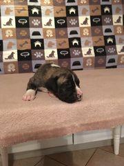Dogo Canario x Dogo Argentino
