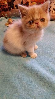 schönes exotic-shorthair baby