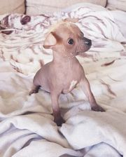 Chihuahua/Chinese crested