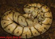 Verkaufe python regius viele adulte