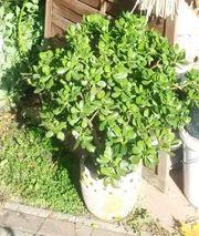 Geldbaum Pfennigbaum (Crassula)