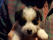 Jack Russell Terrier Welpe Zadie