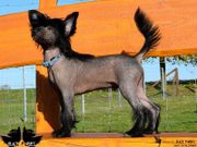 Campino ~Chinese Crested ~